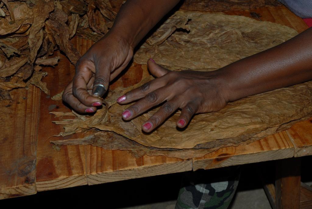Seleccion de hojas de tabaco