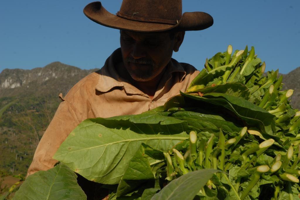 campesino cosechando tabaco