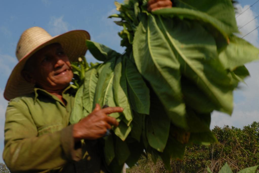 cosecha del tabaco en vinales